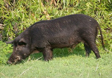 hog-hunting-information-about-hogs-01